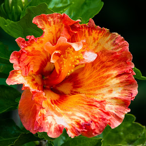 Hibiscis-2.jpg