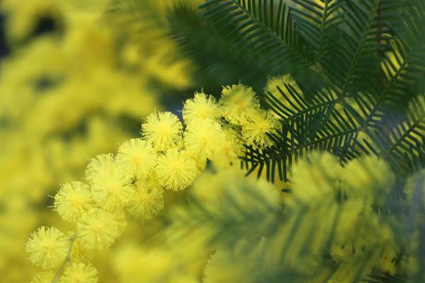 Color giallo mimosa di silvia_tamburini