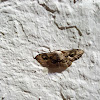 Moth greece
