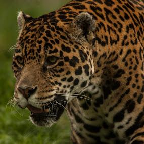 Jaguar by Francois Larocque - Animals Lions, Tigers & Big Cats ( jaguar, big cat, stalking, feline, animal, spot )