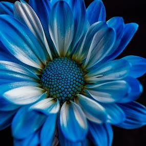 Blue by Carol Ward - Flowers Single Flower ( blue daisy, up close, nature, single flower, daisy, flowers, flower,  )