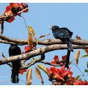 Eudynamys scolopaceus 噪鵑 male