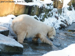 Photo: Knut wuehlt im Wasser ;-)