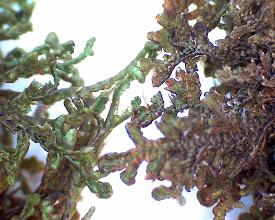 Photo: To Frullania i stereolupen F.tamarici og F dillata - Matteblæremose (grønn) og Hjelmblæremose (lilla)