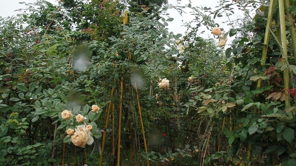 Trồng hồng leo Crown Princess Margareta Rose cần có chổ tương đối rộng để cây phát triển cành nhánh hết khả năng của mình, cây hồng sẽ cho nhiều hoa hơn!