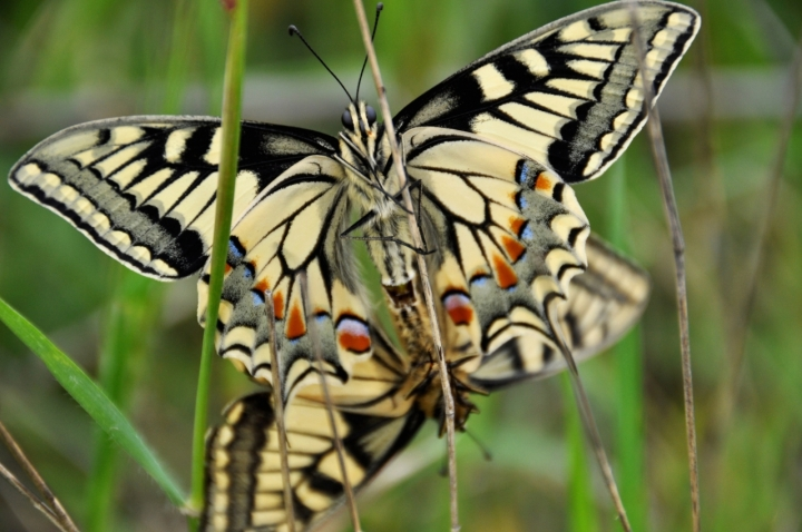 Papilio machaon. di Federica Massa