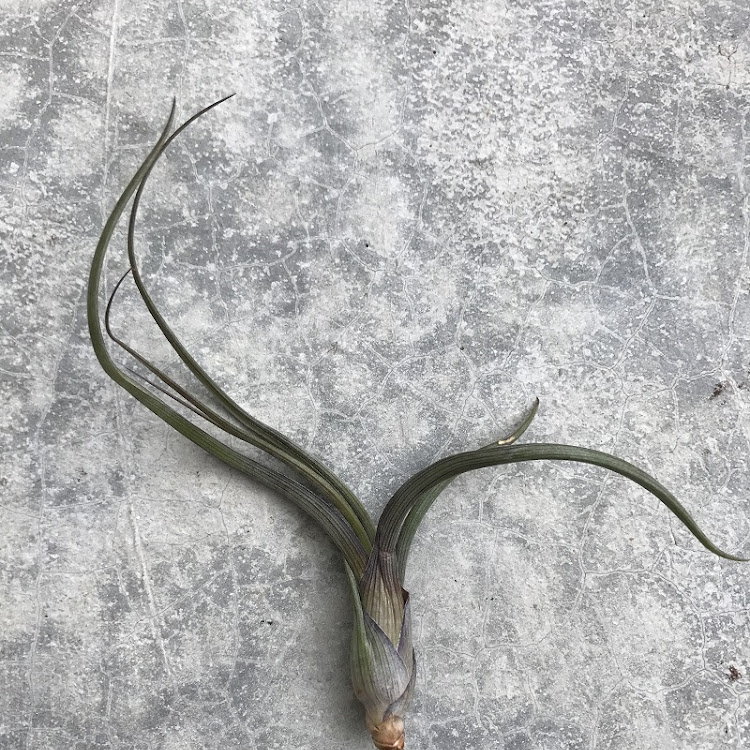 Air Plant - Tillandsia Pseudobaileyi by AquaticsForevers Enterprise
