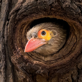 Peek-a-boo by Sanjeev Goyal - Animals Birds ( nikon, nature, brown headed barbet, bird, barbet, animal, wild, wildlife,  )