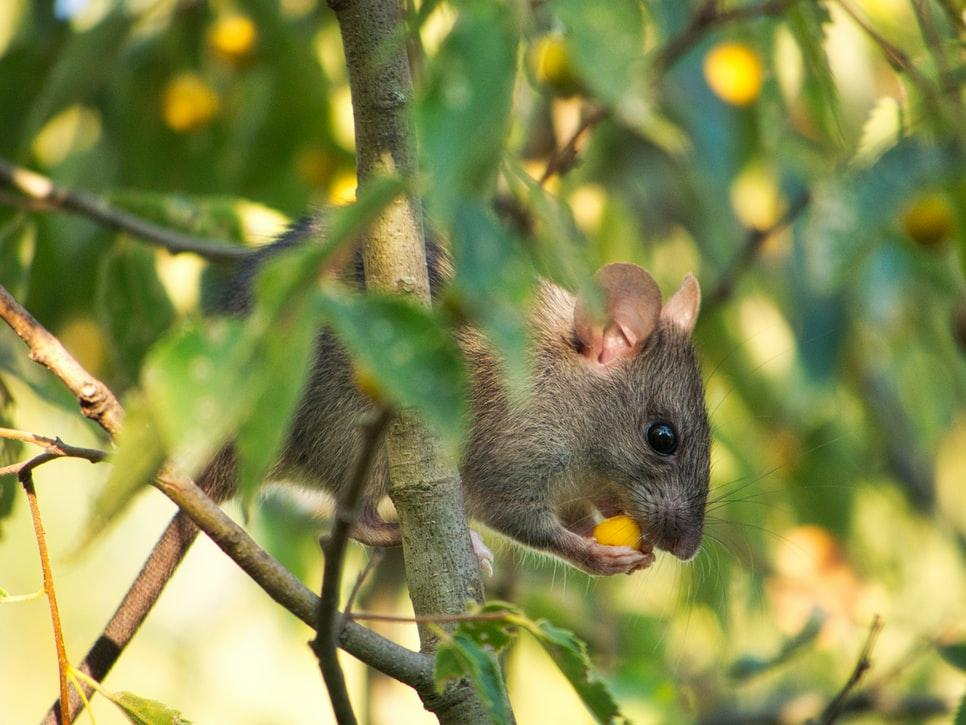 What are Rodenticides used for?