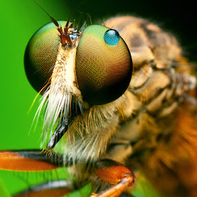 Robberfly and a drop of dew by Pacu Jue - Animals Insects & Spiders ( macro, insects, robberfly )