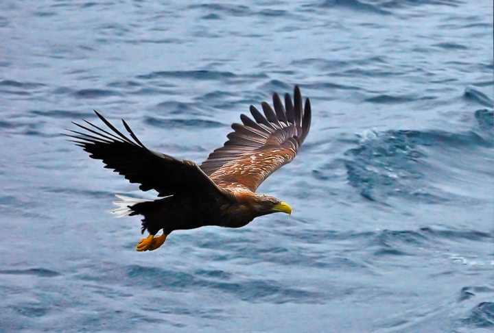 Aquila di mare di manu70