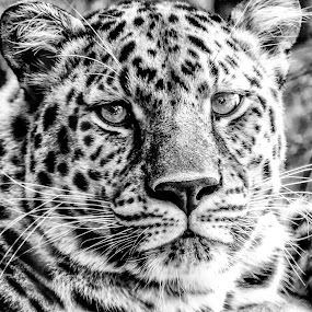 Super Leopard by Dave Walters - Animals Lions, Tigers & Big Cats ( leopard, nature, lumix fz200, zoo, black and white )