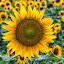 A field of sunflowers by Carol Ward - Flowers Flowers in the Wild ( salisbury, flowers in a field, flowers in the wild, sunflowers, maryland, flowers,  )