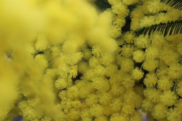 Chicchi di mimosa di silvia_tamburini