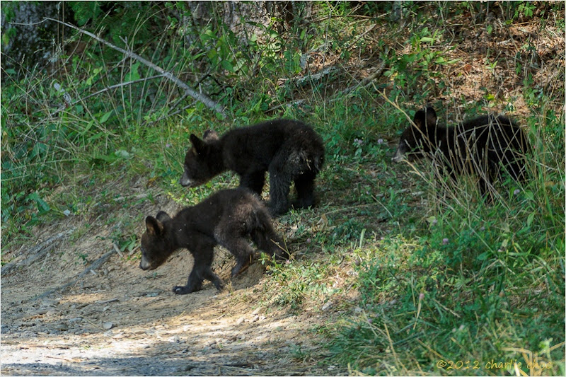 Photo: Cades Cove Cubs, Great Smoky Mountains National Park