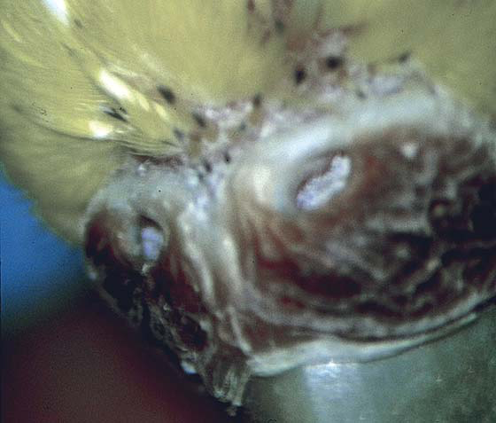 The cere of a mature egg-laying budgerigar fed a seed diet