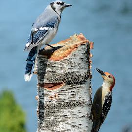 Mixed flock by Steven Liffmann - Animals Birds ( bird, wildlife, red-bellied woodpecker, blue jay, birds, closeup )