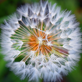 Pattern by Marco Bertamé - Nature Up Close Other Natural Objects ( dandelion, seed, white,  )