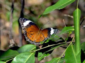 Photo: Day 3 -  Orange Lacewing at Burrunggui © Ian Morris