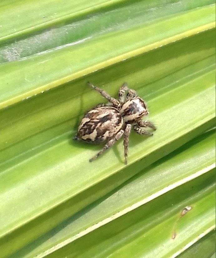Carrhotus sp.