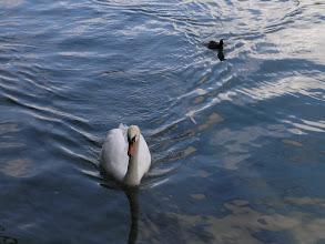 Photo: Swans in Thun