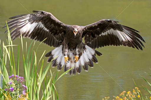 Gold eagle animal - photo#24