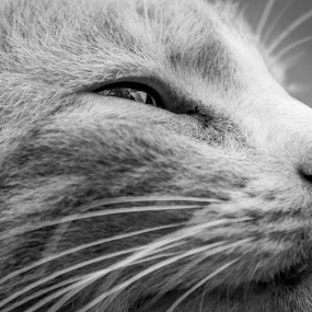 Reminisce by Maurice Cheeks - Animals - Cats Portraits ( cats, animals, cat, black and white, pets, portrait,  )