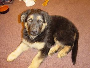 Photo: Harley, als kleine pup met hele grote lange oren. Het duurt lang voordat ze staan!