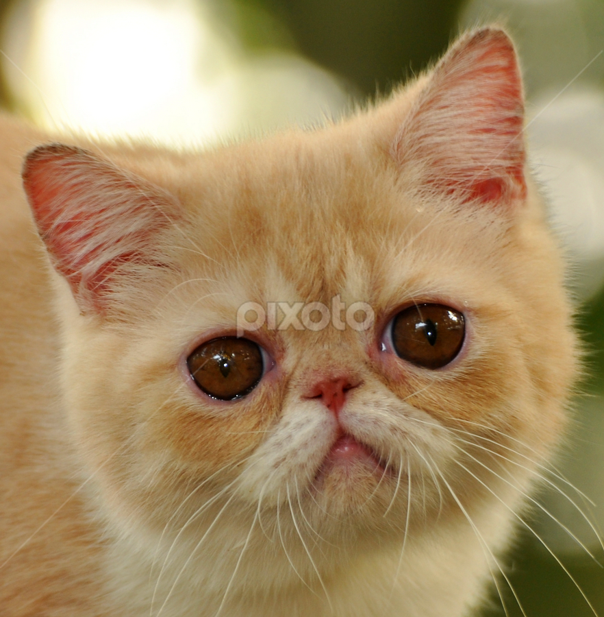 by Cacang Effendi - Animals - Cats Portraits ( cats, cattery, kitten, chandra, kitty )