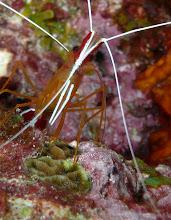 Photo: Scarlett-striped cleaning shrimp (Lysmata grabhami) tiptoeing across lettuce coral (Agaricia sp.) and crustose coralline algae
