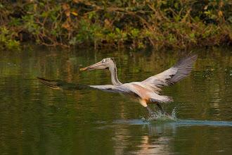 Photo: Pelican take off