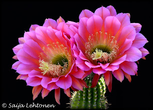 "Photo: What a fantastic morning!! The one flower that I have been waiting for to bloom, finally did today. It is called the ""Flying Saucer"" and it only blooms for one day & so hard to know when it will. This is my favorite flower of all of the cactus flowers!! I think I just may have to get a canvas print of it ;)  Saija Lehtonen Photography  #CactusFlowers #Cactus #Southwest #Arizona #Floral #Flowers #Nature #Photography"