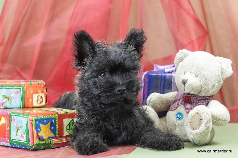 Фото щенка керн терьера питомника Еливс