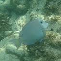 Blue-Tang Surgeonfish