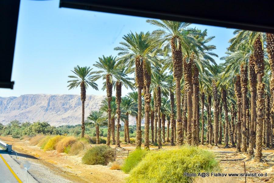 Пальмовые рощи в Иудейской пустыне - экскурсии в Израиле.