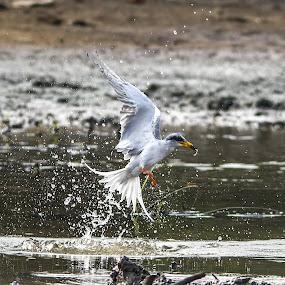 by Vijayendra Desai - Animals Birds ( Bird in flight, bif )