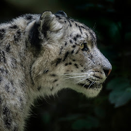 Leopard snow - Irbis by Martin Dlouhý - Uncategorized All Uncategorized