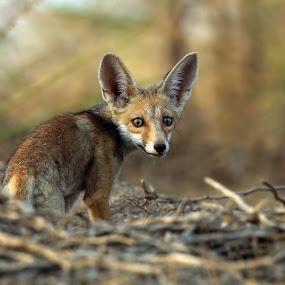 Desert Fox by Sudhir Nambiar - Animals Other Mammals ( #fox,  )