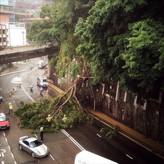 Pok fu lam road, hong kong, chinese banyan, fallen tree, rain, 薄扶林道, 樹, 香港