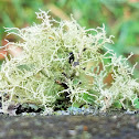Boreal Beard Lichen