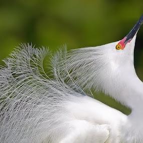 Elegant Array by Shelly Wetzel - Animals Birds ( snowy egret )