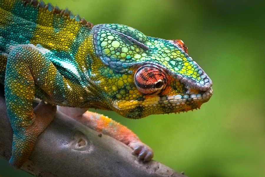 Chameleon by Tedy  Susanto - Animals Reptiles ( chameleon )