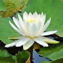 Egyptian White Lotus