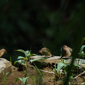 Family Bathing by Roby Edrian - Animals Birds ( bird, nature, munia, bondol, bath, wildlife )