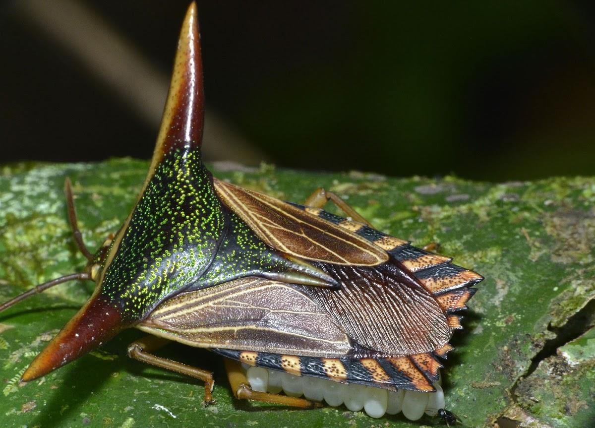 Ornate Shield Bug
