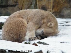 Photo: Knut schlaeft zusammengerollt im Schnee ;-)