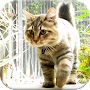 American Bobtail Cat APK icon