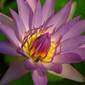 by Alvin Ngow - Flowers Flower Gardens ( macro, plants, wild plants, insect, flora, purple, garden, tropical plants, water lily, birdbotany, flower,  )