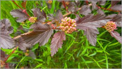 """Photo: Fizocarp roșu """"Diabolo"""" (Physocarpus opulifolius """"Diabolo"""") - Turda, Parcul Teilor - 2019.05.07"""