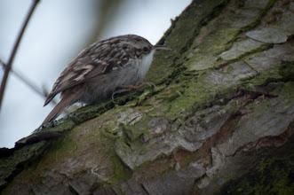 Photo: Short-toed Treecreeper (Gartenbaumläufer); Iserbrook, DE